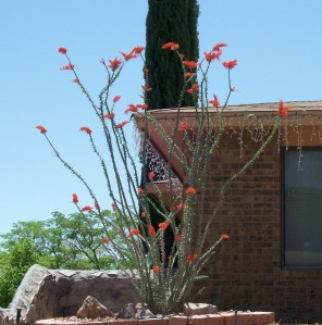 My Neighbor's Ocotillo