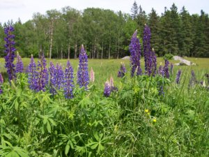 lupines blue