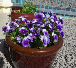Pansies by the patio