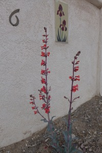 penstemon 2