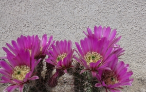 P1000432 cactus bloom