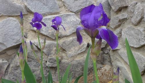 Iris0050
