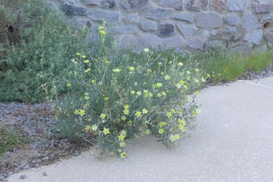 velcro plant